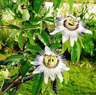 Jardins Des Plantes Paris Fleurs Des Fruits De La Passio Flickr