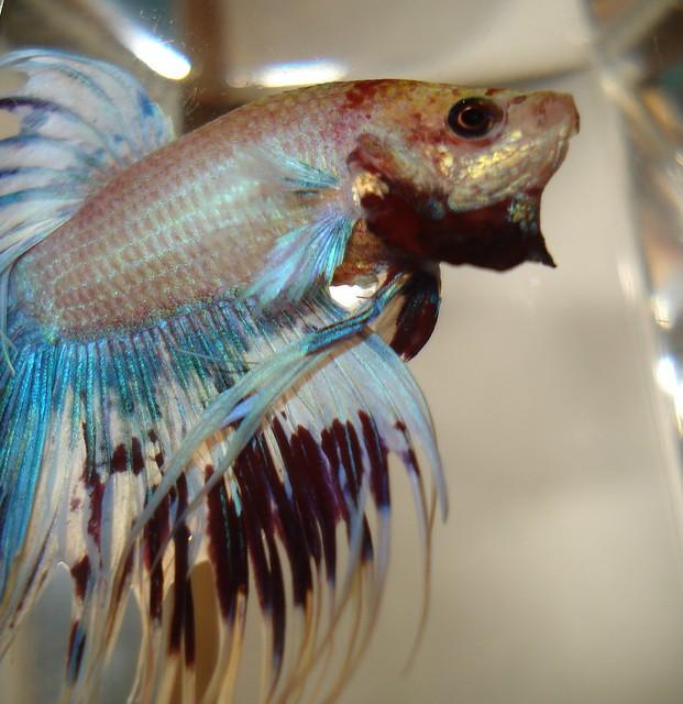 Crowntail betta flickr photo sharing for Betta fish mirror