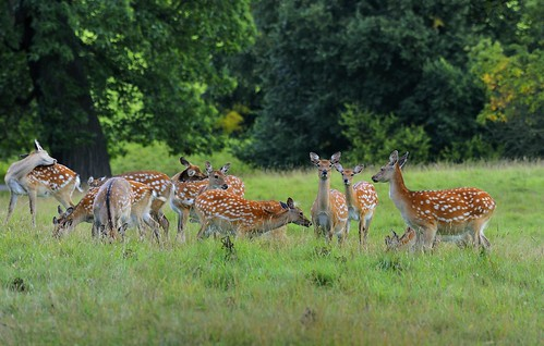 Fallow doe,s Studley royal | by bobbrooky