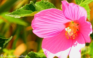 rose mallow | by joghadban