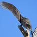 IMG_4474 Immature Turkey Vulture