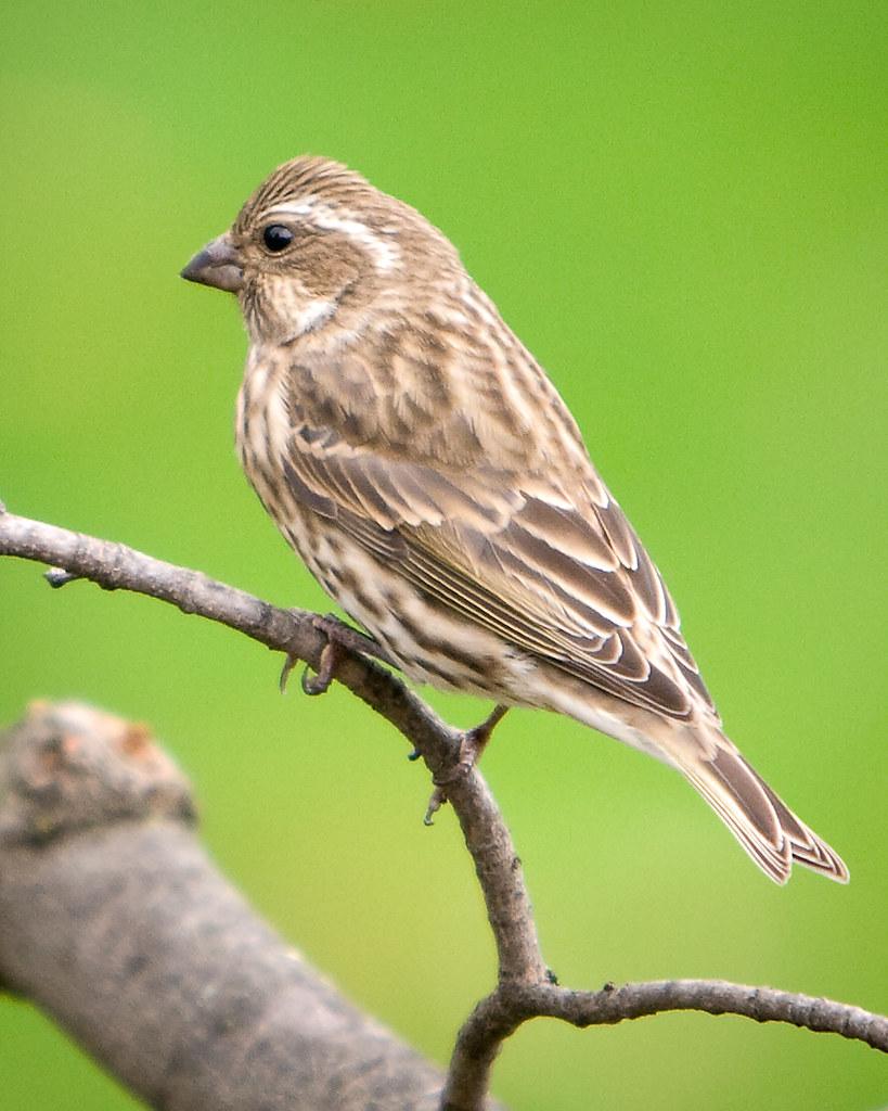 Purple Finch   Ontario Backyard Birds   Dan   Flickr
