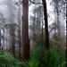 Mist in the Sherbrooke Forest, Kallista