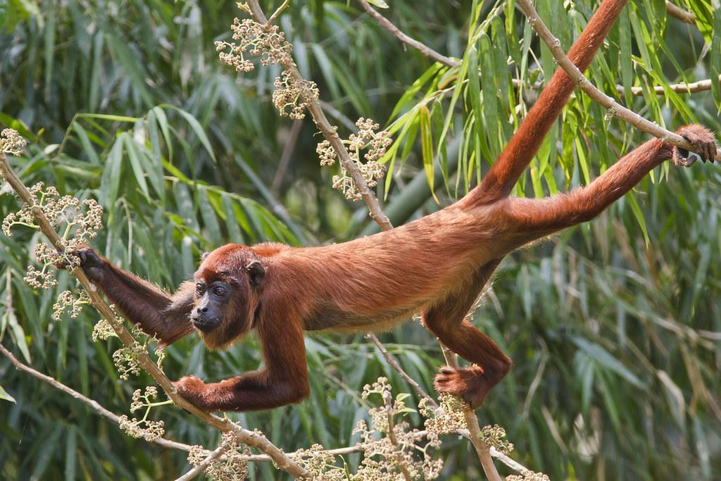 red howler monkey alouatta seniculus atelidae feeding. Black Bedroom Furniture Sets. Home Design Ideas