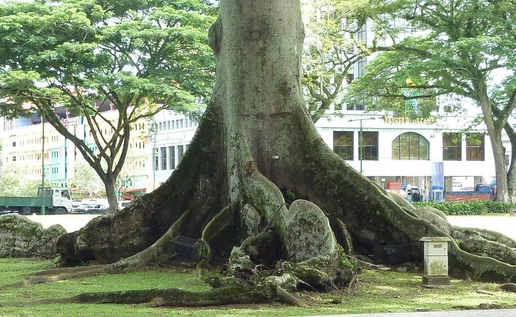 Ceiba pentandra (Kapok) | Family : Malvaceae Genus : Ceiba S