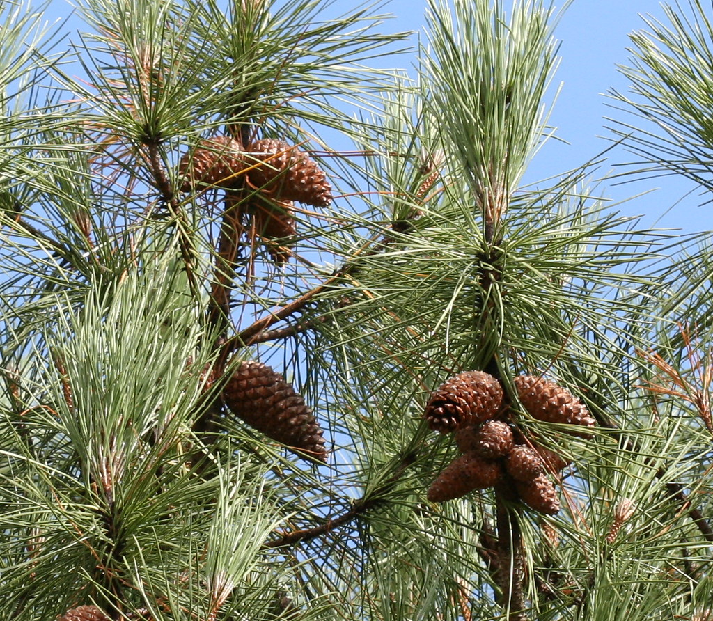 Pinus pinaster (Maritime Pine) | John Muir country park, Dun ...