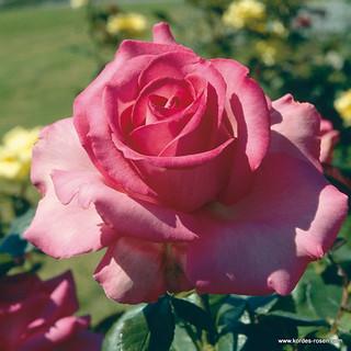 edelrose esmeralda kordes rose esmeralda z chter w k. Black Bedroom Furniture Sets. Home Design Ideas