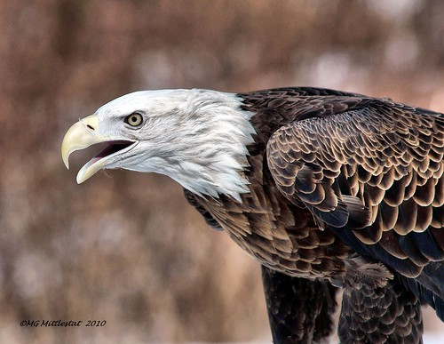 Bald eagle | by gerstat
