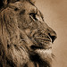 Lion 03 artsy