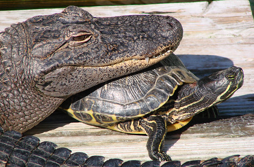 Alligator & Turtle | by Derek Licek's Photography
