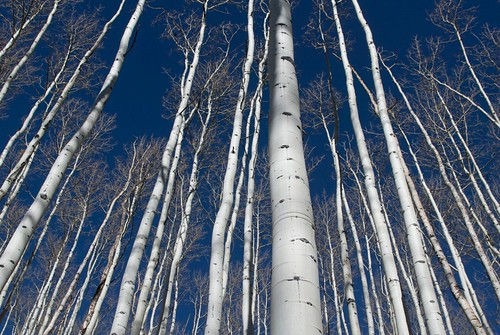aspen trees | by tmo-photo