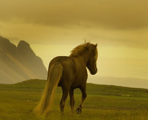 Icelandic stallion | by Anna.Andres