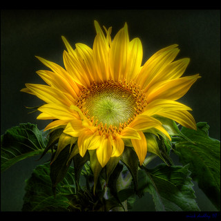 SUNFLOWER 2 | by mickeydud