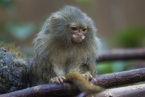 Miniature Monkey at Chester Zoo | by LP-Photomemories