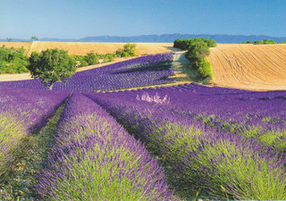 Lavendar Fields in Provence | by FloridaGirl46