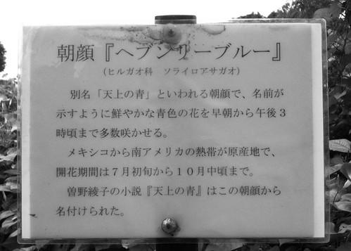 田中本家博物館:朝顔『ヘブンリーブルー』