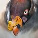 King vulture 03