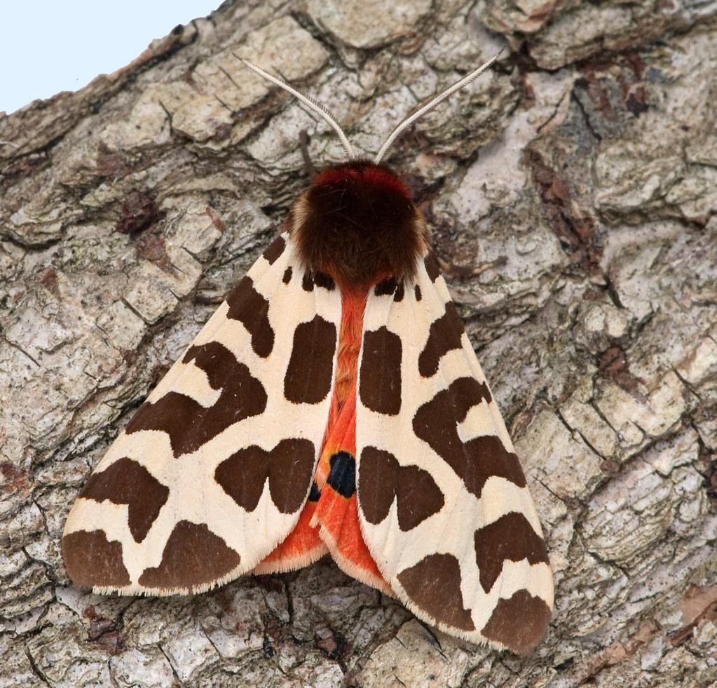2057] Garden Tiger- Arctia caja   Brenne mothing 3 Quite a …   Flickr