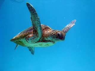 Green Turtle | by oemebamo