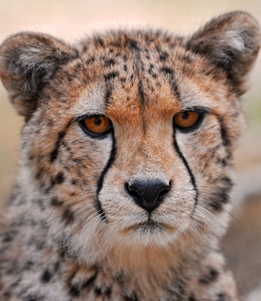 Serious But Very Cute Young Cheetah | Last Cheetah Picture ...