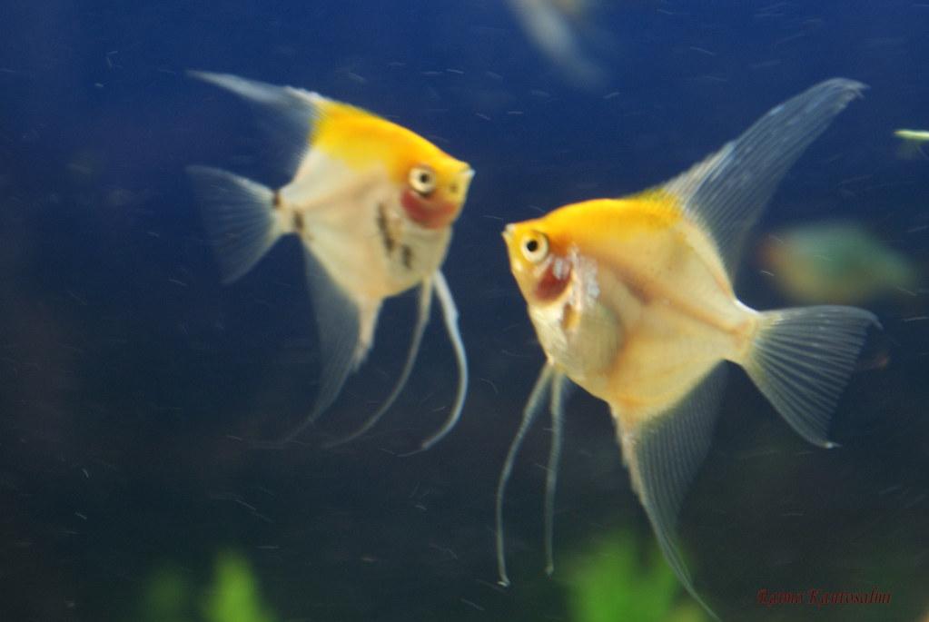 Freshwater angelfish | Raimo Kantosalmi | Flickr