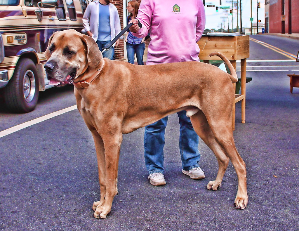 Great Dane Topaz Biggest Dog I Have Ever Seen View On