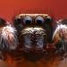 Focus stack of a male jumping spider (Pseudeuophrys lanigera)