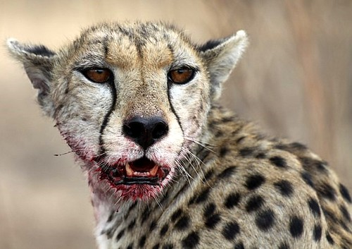 Cheetah eating gazelle