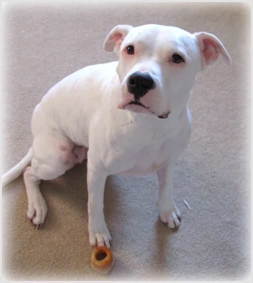 Blue Nose Pitbull Dog Puppies