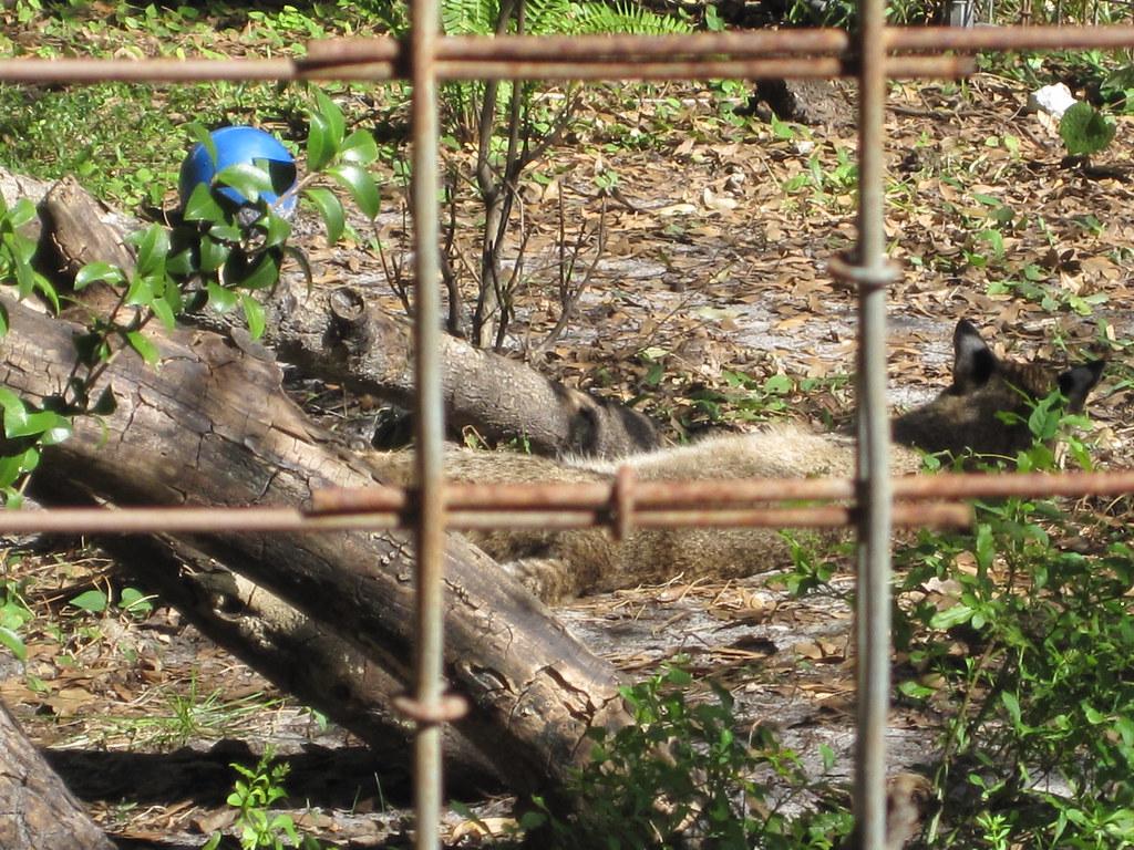 Big Cat Rescue Bobcat Video