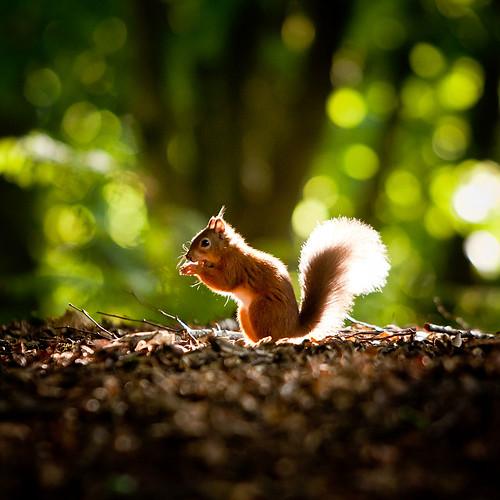 Red Squirrel | by scream.ape