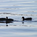 American Coots Hains Point 3