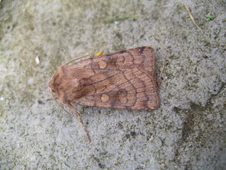 ?Least yellow underwing moth | by far closer