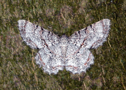 Moth 17, Sandy Point State Park | by Bottlesplus