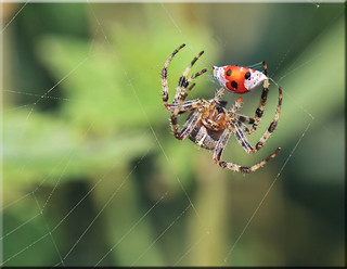 Spider with Prey | by mayaplus