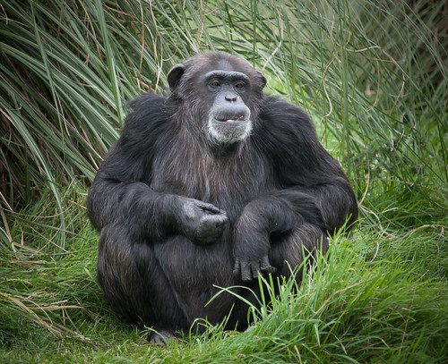 Chimpanzee | by wwarby