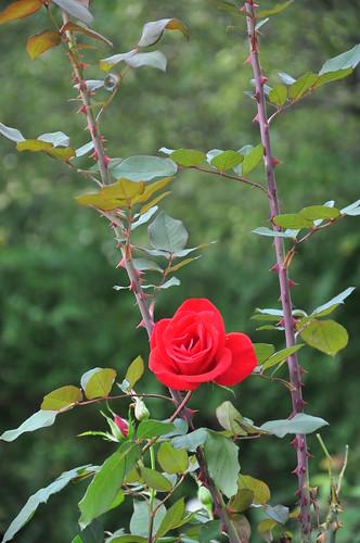 etoile de hollande rose etoile de hollande rose reeves re flickr. Black Bedroom Furniture Sets. Home Design Ideas