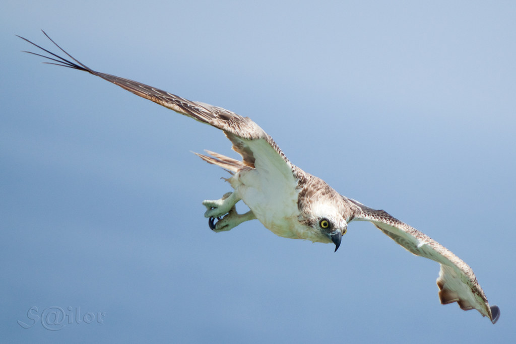 Attack bird osprey fish hawk pandion haliaetus flickr for Fish hawk bird