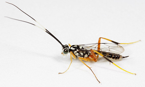 Striking, no-longer unidentified, wasp | by cotinis