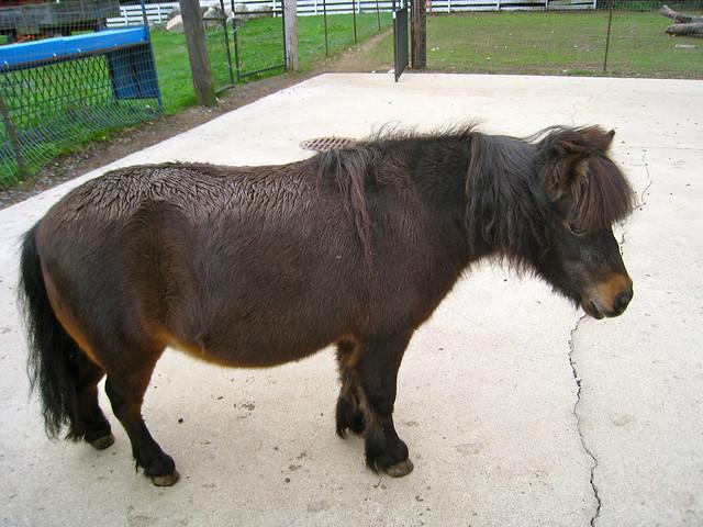 the chubby pony