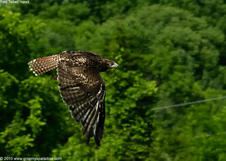 Red Tailed Hawk Flying | by Anupam Dash Photography