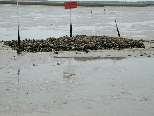 A sand flat oyster reef in 2002 | by FSU_science_blog