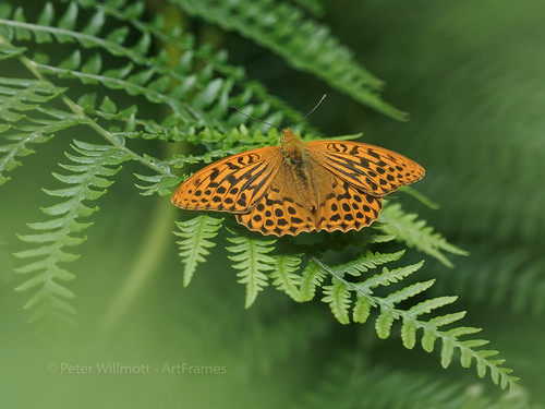 Silver washed fritillary - Argynnis paphia | by ArtFrames