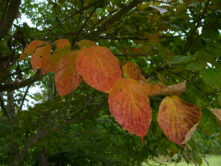 DogwoodLeaves P1050081 | by lucycat
