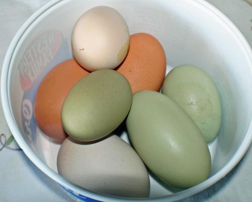 Grandma 39 s chickens lay colored eggs different breeds of for Why are chicken eggs different colors