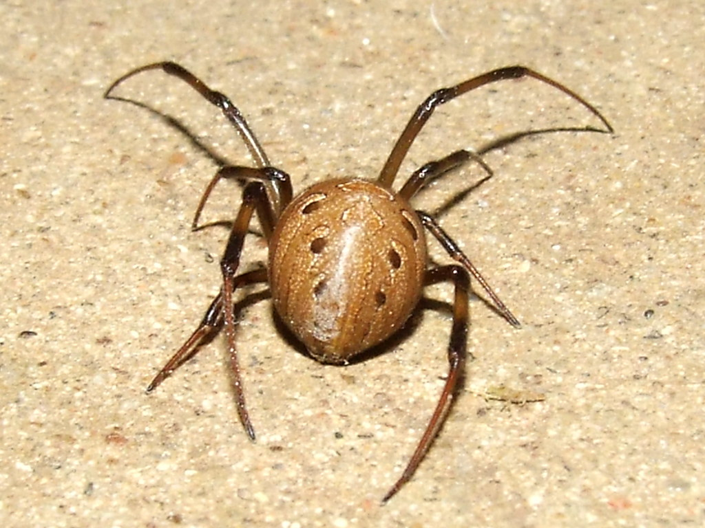 Brown Spiders In Colorado That Build Webs In Houses
