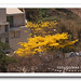 ipê-amarelo (Tabebuia chrysotricha)