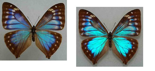 morpho aega to workkk | by leandroarthropodsclub34