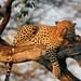 Leopard on tree limb next day #2