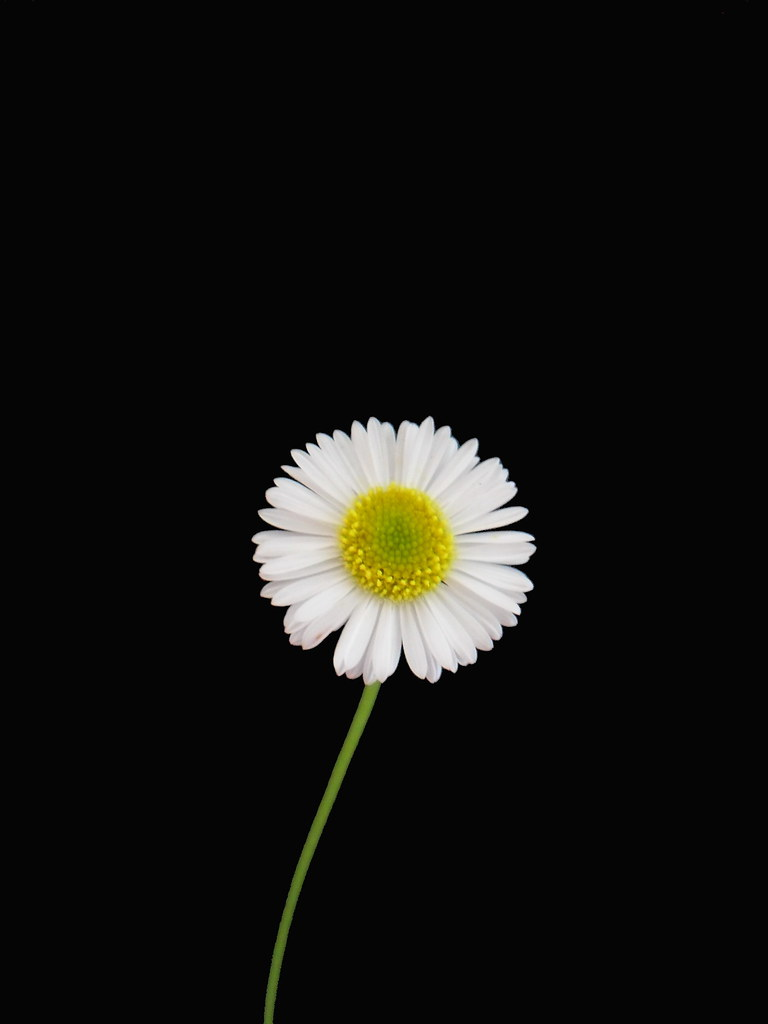 White Daisies Tumblr White Daisy on Pitch Black